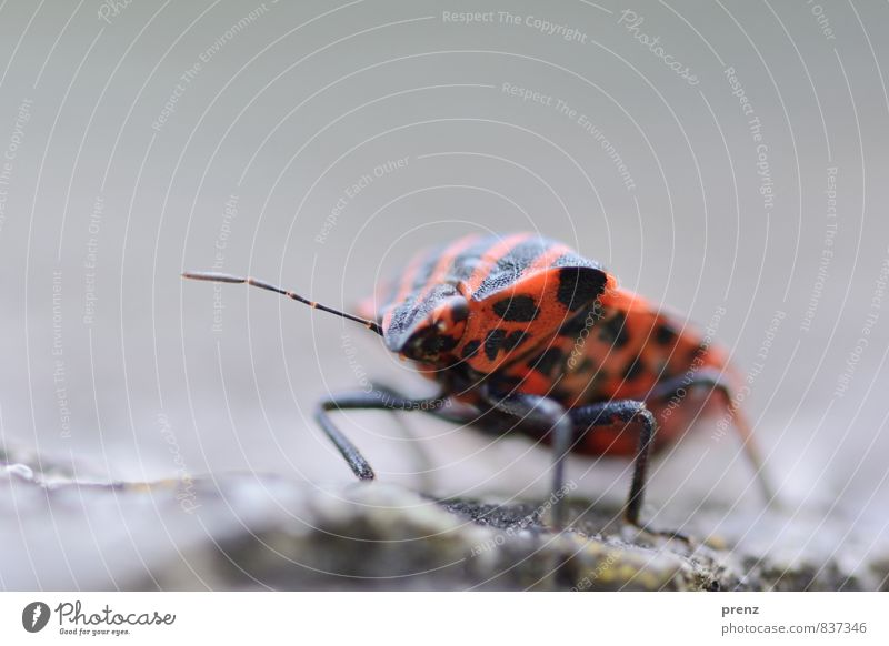 tingling crawl Environment Nature Animal Wild animal Beetle 1 Red Black Bug Stripe Insect Colour photo Exterior shot Close-up Macro (Extreme close-up)