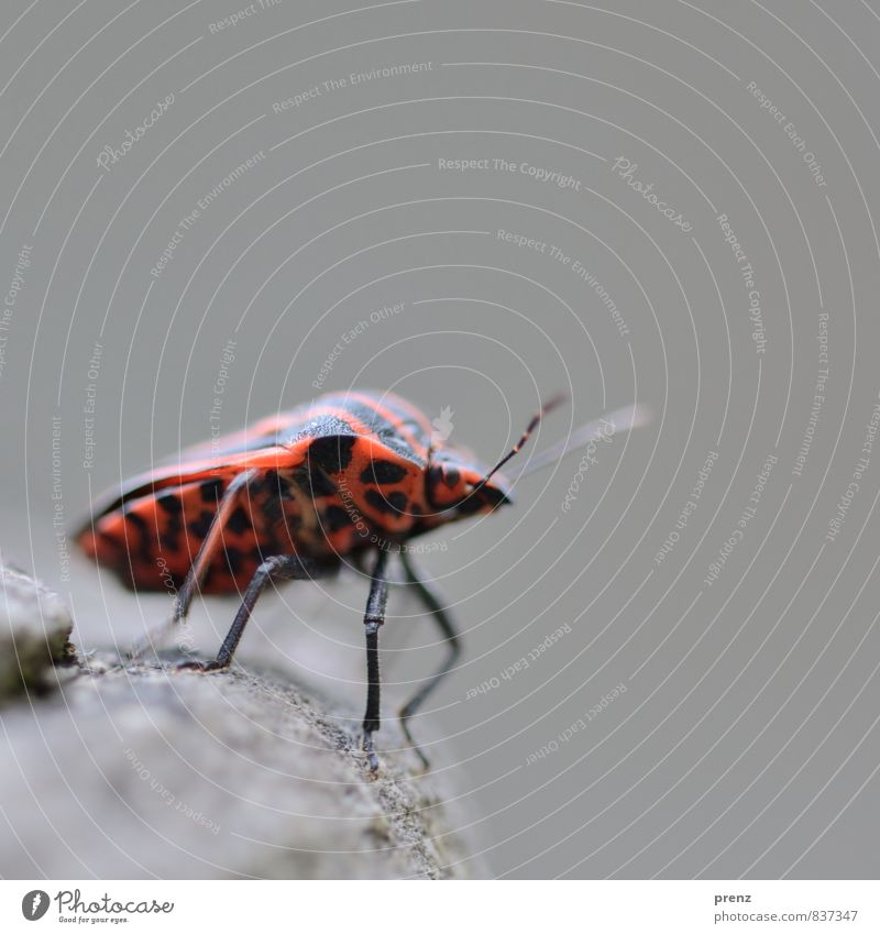 wanderlust Environment Nature Animal Wild animal Beetle 1 Red Black Bug Stripe Insect Colour photo Exterior shot Close-up Macro (Extreme close-up) Deserted