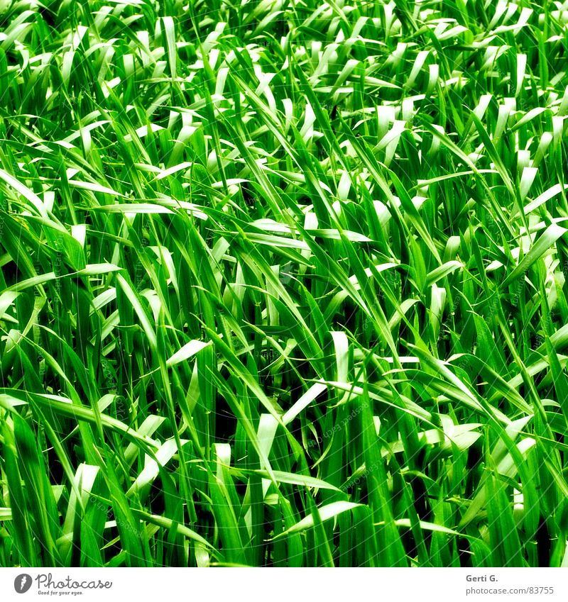 practical, square, grass Raw materials and fuels Cereals Agriculture Field Food Cornfield Green Bilious green Wind Summer Square Grass Blade of grass Oats