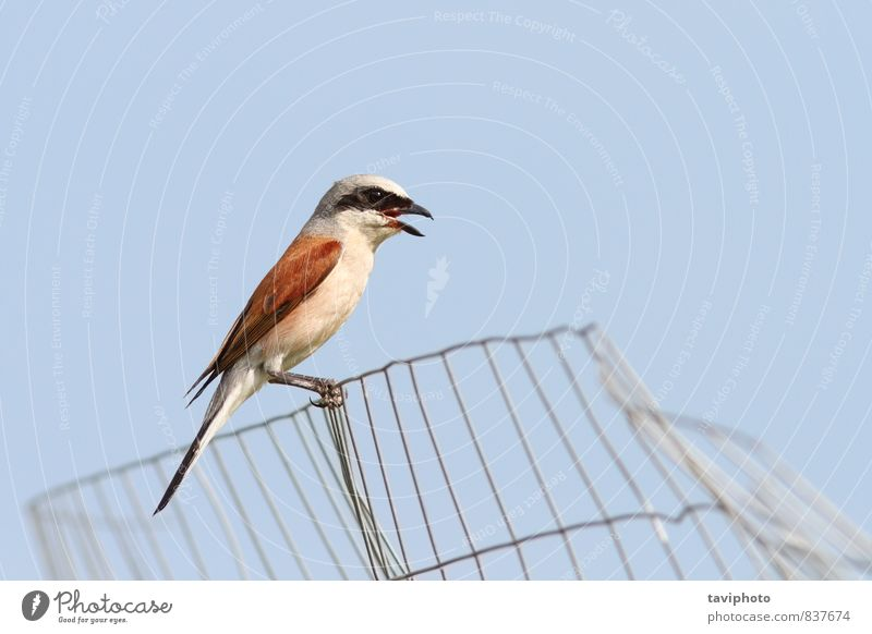 lanius collurio on abandoned wire fence Sky Nature Man Beautiful Colour Summer Red Animal Adults Brown Bird Wild Photography Observe Clean Beauty Photography