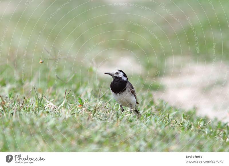 motacilla alba on ground Nature Animal Grass Meadow Bird Stand Small Wild Gray Green Black White Wagtail birdwatching Ground wildlife one Bank note Single Beak