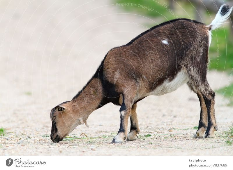 young goat eating on gravel Green Animal Life Grass Small Eating Stone Brown Body Mouth Posture Farm Zoo Mammal Alley Sheep