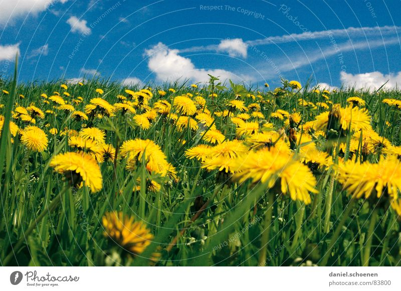 Flower Green Blue Summer Vacation & Travel Yellow Meadow Blossom Grass Spring Lawn Break Leisure and hobbies Dandelion Beautiful weather Alpine pasture