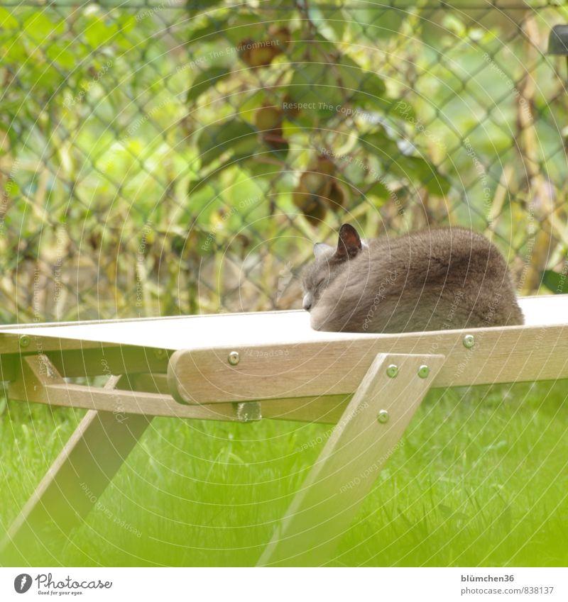 lunch break Summer Garden Meadow Animal Pet Cat Sleep Dream Friendliness Beautiful Gray Green Calm Fatigue Relaxation Break Sunbathing To enjoy Lie Deckchair