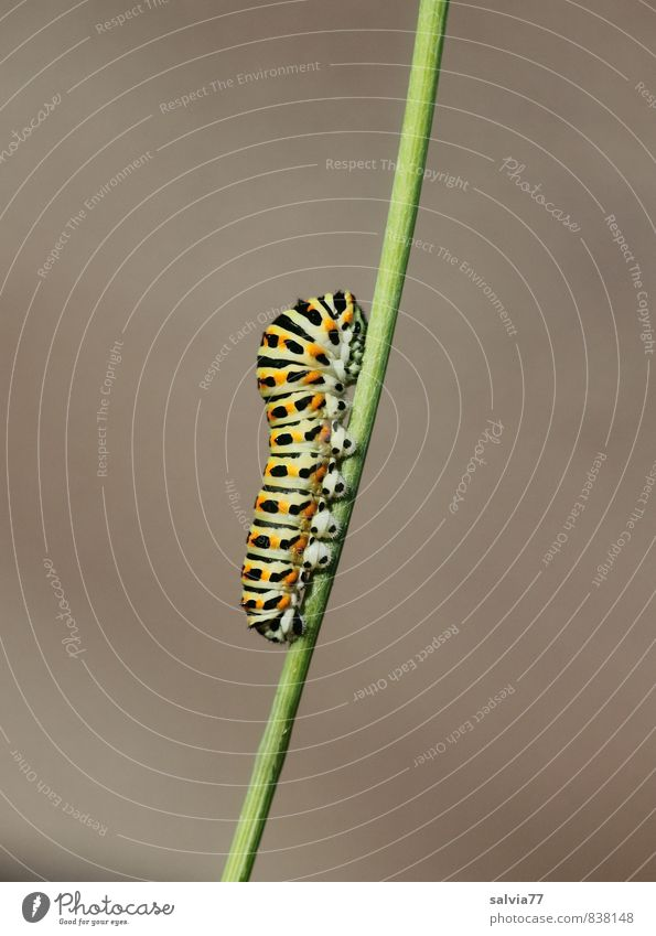 Caterpillar model 3 Environment Nature Animal Summer Wild animal Butterfly 1 To feed Crawl Growth Natural Soft Gray Green Orange Black Caution Serene Patient