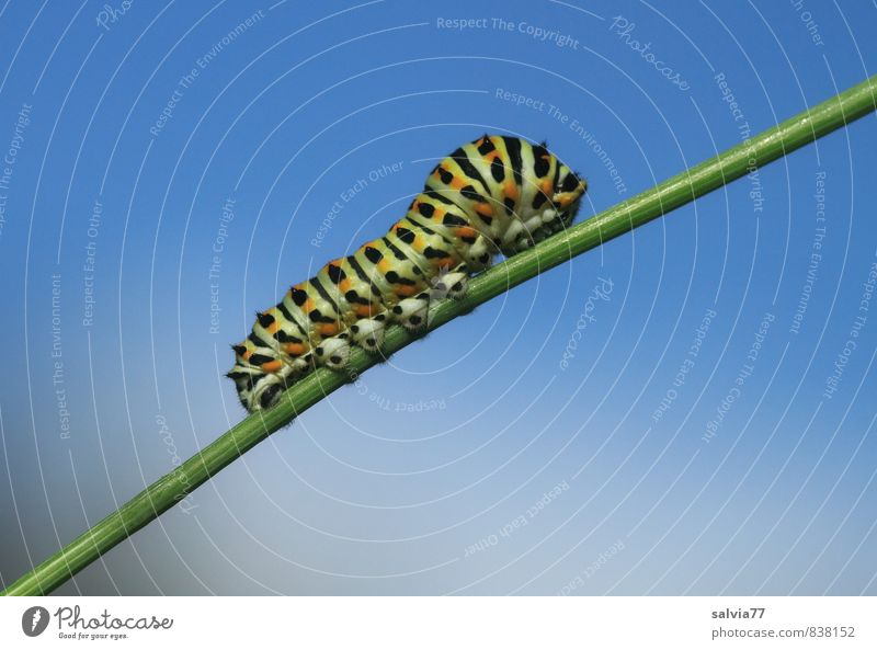 Caterpillar model 1 Environment Nature Animal Sky Summer Wild animal Butterfly To feed Crawl Growth Small Naked Natural Blue Green Black Serene Patient Calm