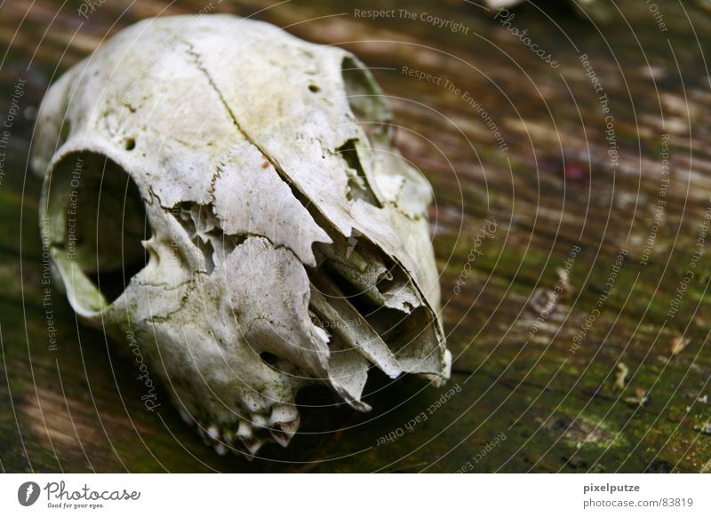 | disembodied Animal skull Death Difference Wood Past Grief Hard Wilderness Law of nature Distress Macro (Extreme close-up) Close-up Transience bodyöos