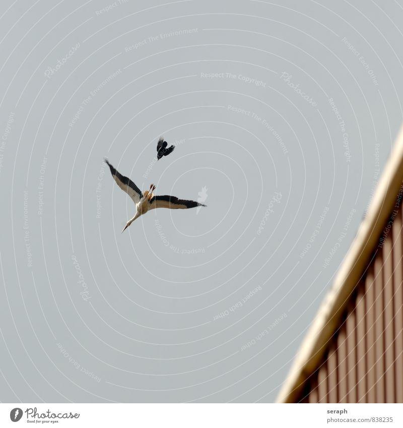 David vs. Goliat White Stork Bird Animal Protection Protector fauna race Nature Exterior shot plumage wildlife Wild Wing Migratory bird Jackdaw Raven birds