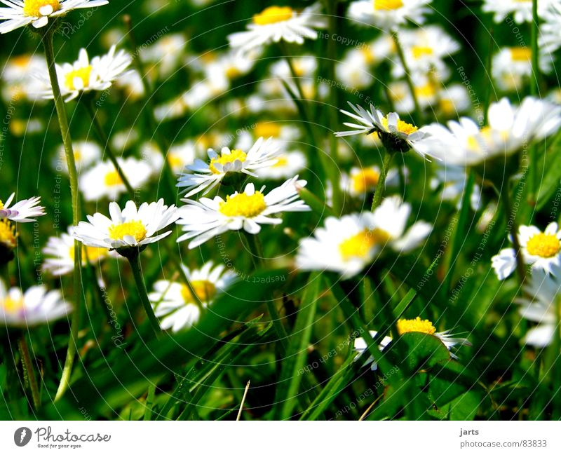 Flower Green Summer Meadow Blossom Grass Daisy Flower meadow Memory Glade