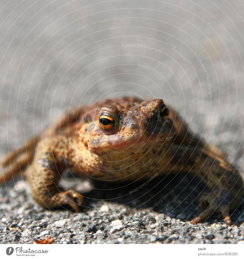 bizarre hypnotoad. Nature Earth Animal Wild animal Frog Painted frog Amphibian 1 Looking Sit Disgust Cold Wet Brown Eyes Muzzle Toad Subdued colour