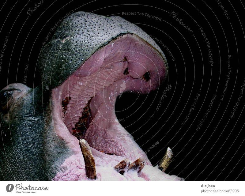 The Dentist Woman Belch To talk Hippopotamus Mucous membrane Gum Black Animal Large Loudmouth Boast Mammal Set of teeth Scream bleat Muzzle
