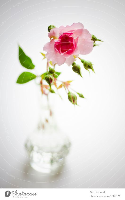 salute Flower Rose Decoration Fragrance Beautiful Green Pink Rose blossom Rose leaves Vase Still Life Colour photo Interior shot Studio shot Copy Space bottom