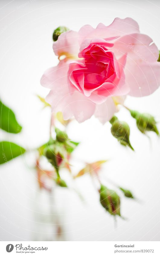 for you Flower Rose Fragrance Green Pink Rose blossom Rose leaves Decoration Gift Still Life Salutation Colour photo Interior shot Studio shot Close-up