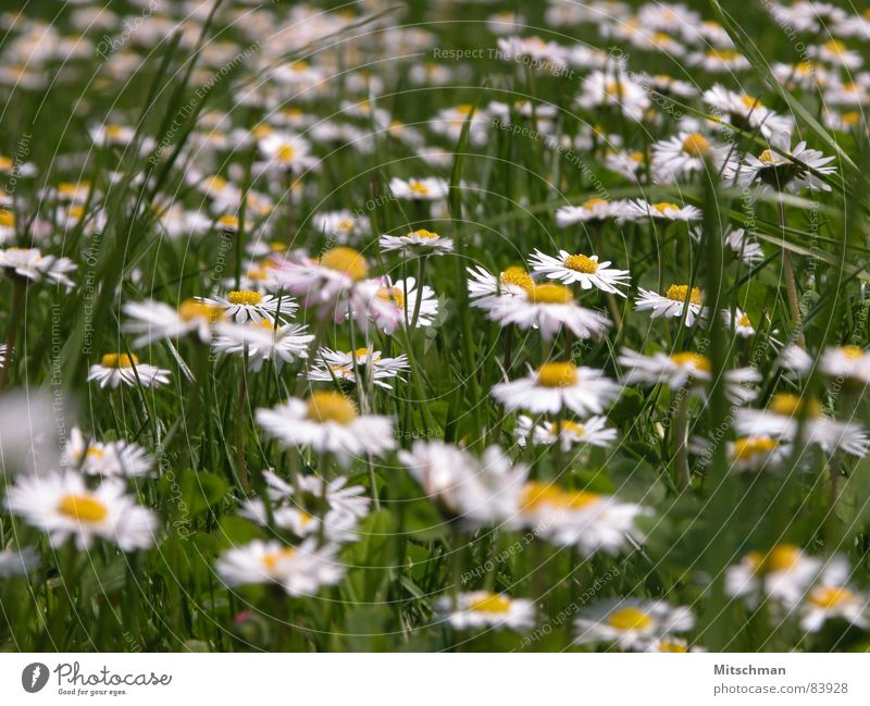 daisies Meadow Grass Daisy Green Yellow White Blur Spring Flower Green space Village green Lawn Beautiful weather