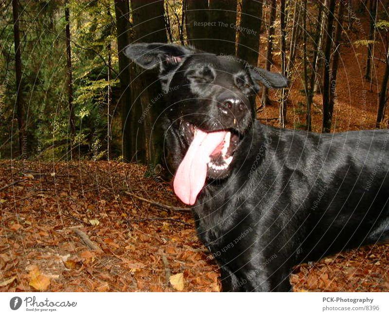 doggy Dog Labrador Crossbreed Forest Black Pelt Joy Tongue Set of teeth