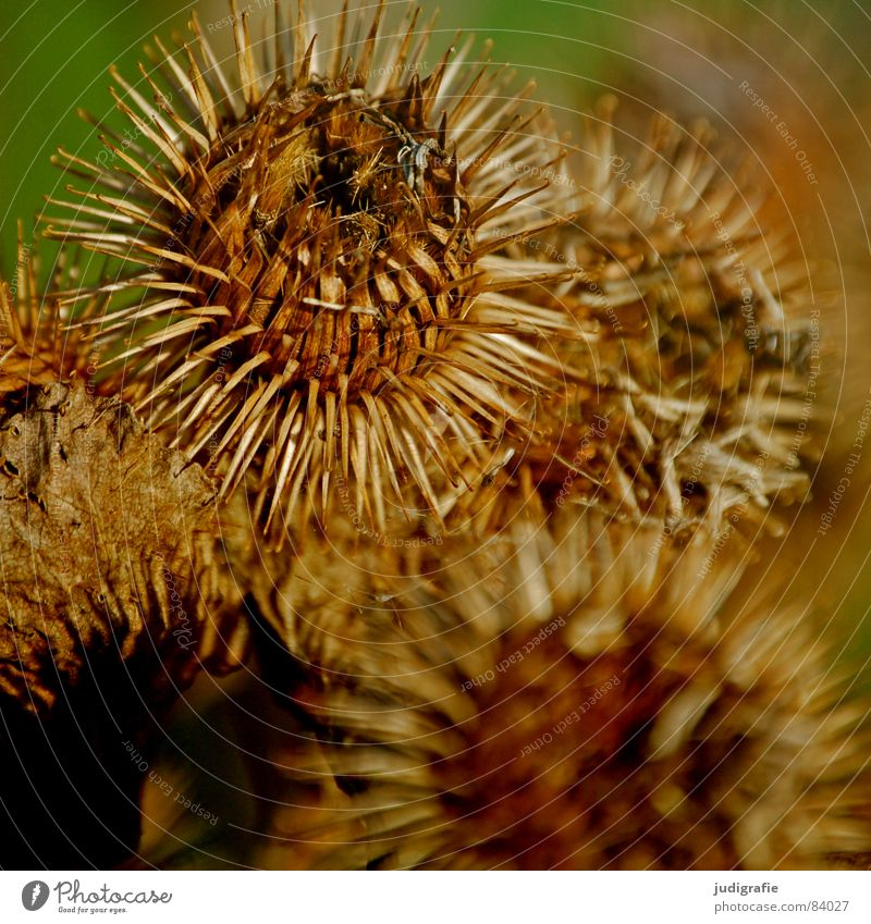 Nature Beautiful Plant Black Autumn Glittering Environment Round Protection Transience Point Sphere Thorny Checkmark Wilderness Daisy Family