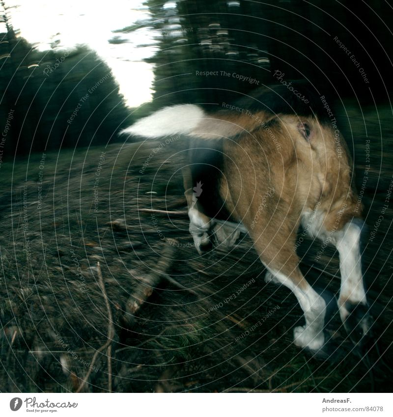nasally Foxhunting Hunter Dog Forest Woodground Footpath Emotions Pursue Beagle Hound Hind quarters Paw Tails Animal tracks To go for a walk Playing Speed