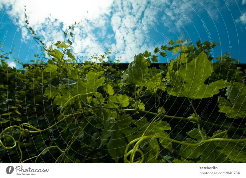 Wine Vine Vine tendril Tendril Growth Plant Foliage plant Creeper Copy Space Sky Clouds Worm's-eye view Summer Leaf Branch Twig Winery Grape harvest
