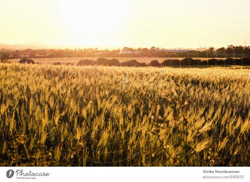 Campo di grano sardo Vacation & Travel Tourism Environment Nature Landscape Plant Cloudless sky Spring Agricultural crop Grain Grain field Cornfield Field