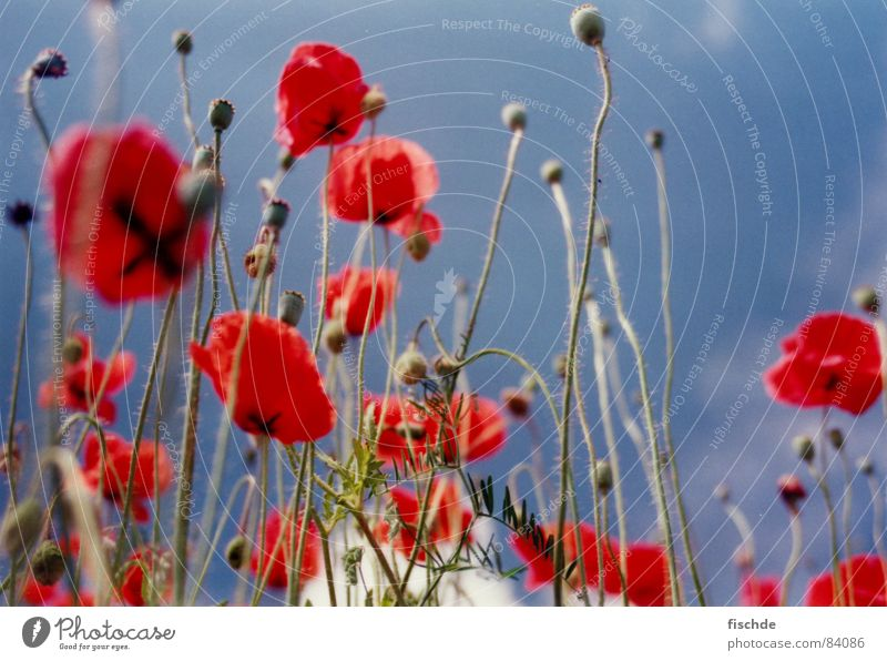in the poppy field Poppy Red Flower Field Worm's-eye view Sky Blue sky Perspective Flower meadow Meadow Blossom Grass Summer in nature Nature flowers Opinion