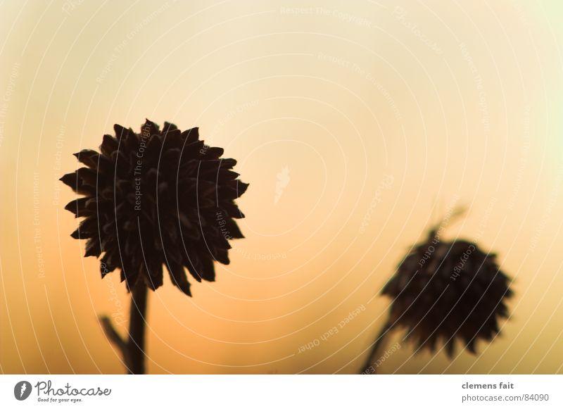 two black Two-tone Flower Back-light Black 2 Yellow Progress Abstract Blossom Dry Hard Winter Orange Silhouette Death