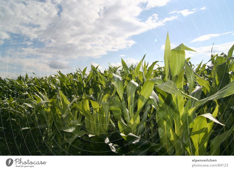 Sky Green Summer Clouds Field Vegetable Maize Maize field