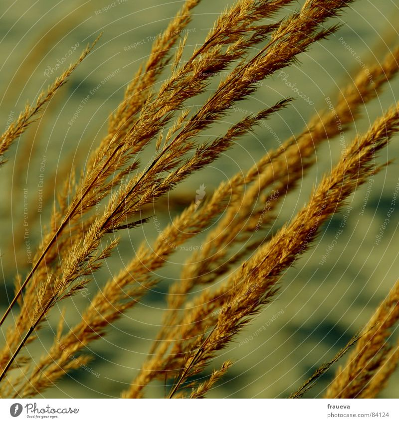 Wind in your hair Grass Yellow Plant Part of the plant Grassland Reeds Beige Botany Winter Wild plant Blow yellowish brown Sadness