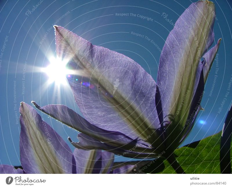 sunshine Violet Flower Summer Plant Happiness Good mood Spring Blossom Elated Celestial bodies and the universe Clematis Sky Sun Garden Blue Star (Symbol)