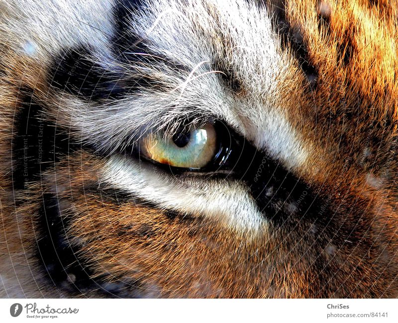 tiger's eye Tiger Animal Zoo Pelt Eyelash White Brown Cat Mammal Macro (Extreme close-up) Close-up Beautiful Eyes Nature Looking Iris big cat Wild animal
