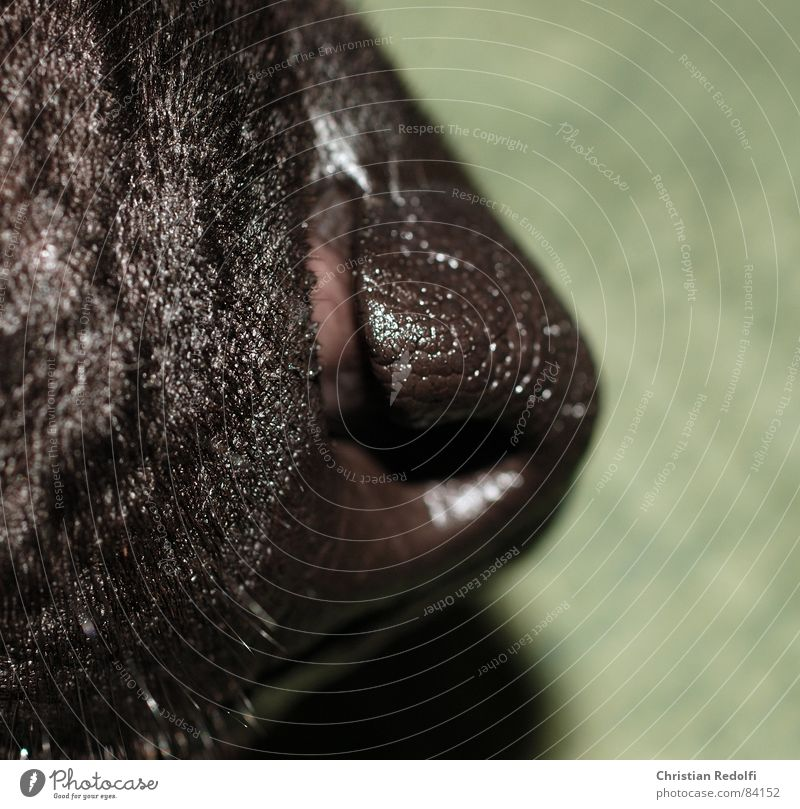 Schnuffi Dog Snout Black Green Nose Mouth Hair and hairstyles Animal Organ Parts of body Macro (Extreme close-up) Close-up