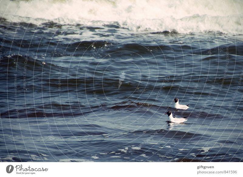 tête-à-tête Environment Nature Elements Water Waves Coast Ocean Animal Wild animal Bird 2 Pair of animals Swimming & Bathing Seagull Black-headed gull