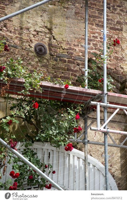 rose on scaffold. Living or residing House building Redecorate Gardening Construction site Craft (trade) Scaffold Plant Rose Blossom Park