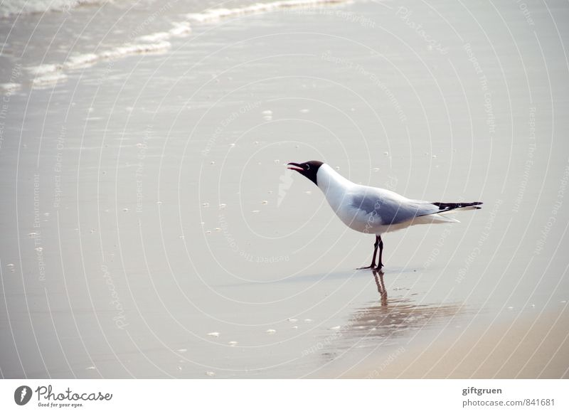 """""""cure, and don't forget the fish!"""" Environment Nature Landscape Elements Sand Water Waves Coast Beach Ocean Animal Bird 1 Scream Seagull Black-headed gull  Beak"""