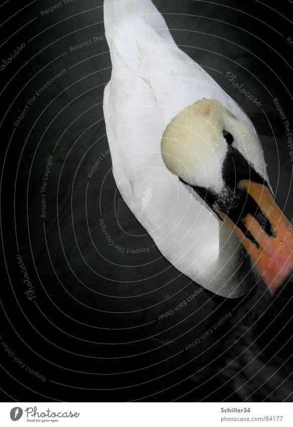 Water Beautiful Animal Black Eyes Dark Wood Lake Bird Swimming & Bathing Orange Waves Flying Elegant Trip Illuminate
