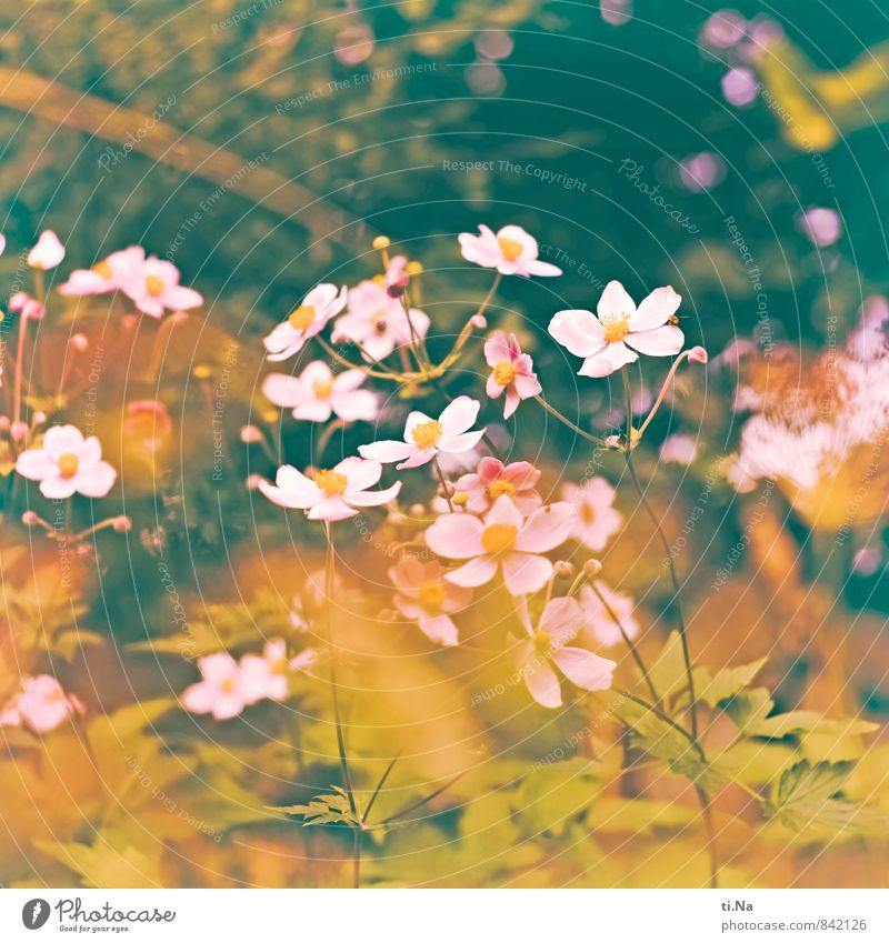 many flowers bloom Summer Autumn Flower Bushes Leaf Blossom Anemone Garden Meadow Blossoming Fragrance Faded Esthetic Fresh Natural Yellow Green Pink White