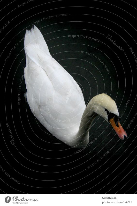 Le curieux cygne II Lake Lake zurich Dark Swan Poultry Animal Living thing Bird Beak Footbridge Tails Waves Wood Black Curiosity Appetite Beautiful Noble