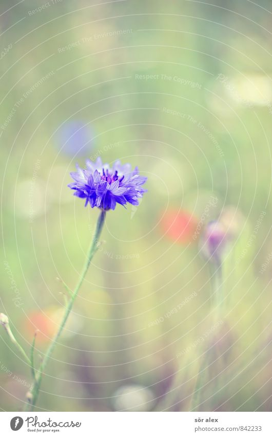 I Environment Nature Plant Summer Flower Blossom Wild plant Cornflower Flower meadow Beautiful Blue Green Safety (feeling of) Warm-heartedness Loyalty Romance