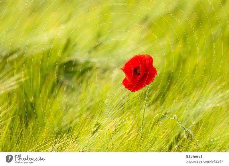 early summer poppy Trip Summer Nature Plant Sunlight Beautiful weather Flower Blossom Wild plant Poppy Poppy blossom Meadow Field Green Red Wheatfield