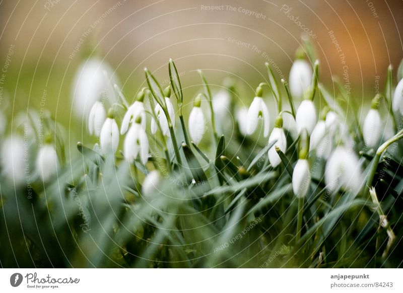 Flower Green Meadow Grass Snowdrop