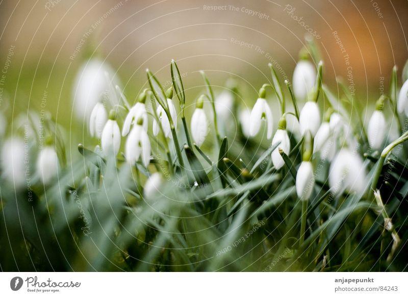 Flower Green Meadow Grass Snowdrop