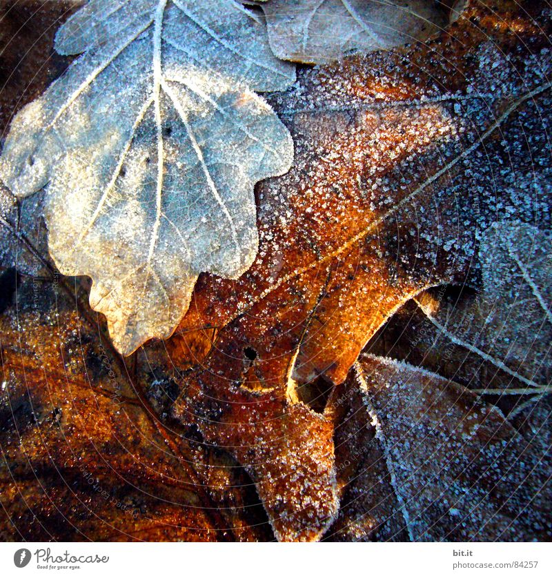 Ice Age Winter Snow Environment Plant Sunlight Autumn Climate Frost Fresh Cold Brown Moody Maple tree Early fall Autumn leaves Autumnal Autumnal colours Frozen
