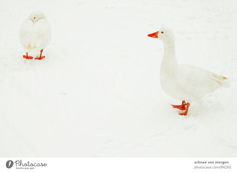 Mister Universe Lake Goose Roasted goose Bird Cold Invisible Fresh Winter Funster Poultry White Beautiful Animal Freeze Beak Red Attractive Tasty Environment