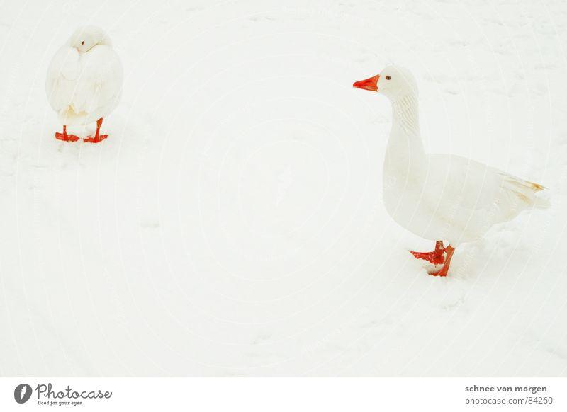 Nature Water White Beautiful Red Animal Winter Environment Cold Snow Lake Bird Ice Orange Flying Fresh