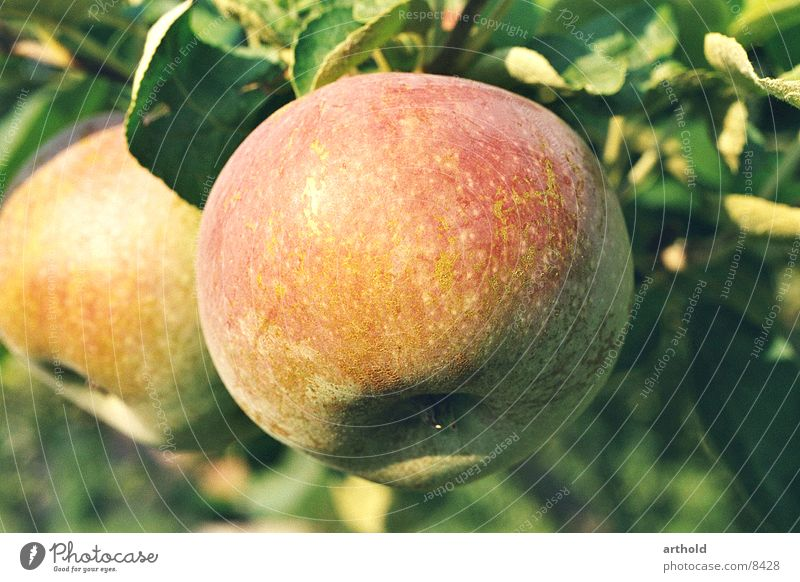 Fresh from the tree Autumn Vitamin Healthy Juicy Delicious Apple Fruit Organic farming Vegetarian diet
