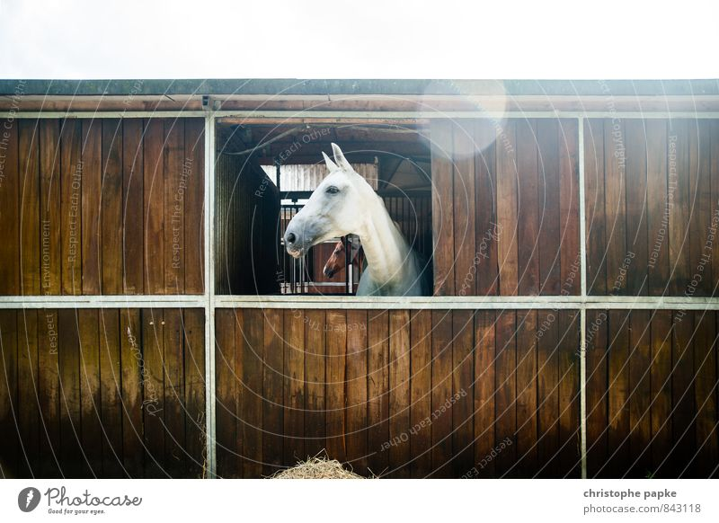 white beauty Leisure and hobbies Equestrian sports Barn Stable Animal Farm animal Horse 1 Looking Pride Gray (horse) horse box Colour photo Exterior shot