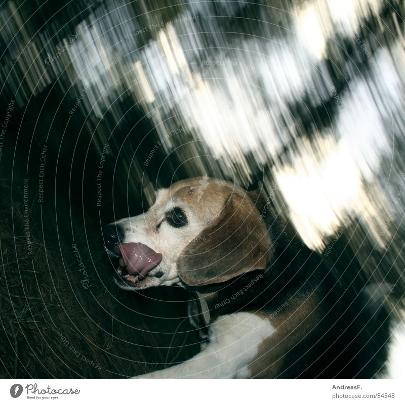 Dog races Dog food Foxhunting Hunter Woodground Footpath Emotions Pursue Beagle Hound Paw Tails Animal tracks To go for a walk Playing Speed Coniferous forest