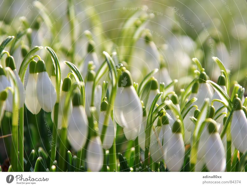 Nature White Flower Green Snow Grass Spring Garden Park Fresh Clean Pure Delicate Refreshment Graceful Caresses