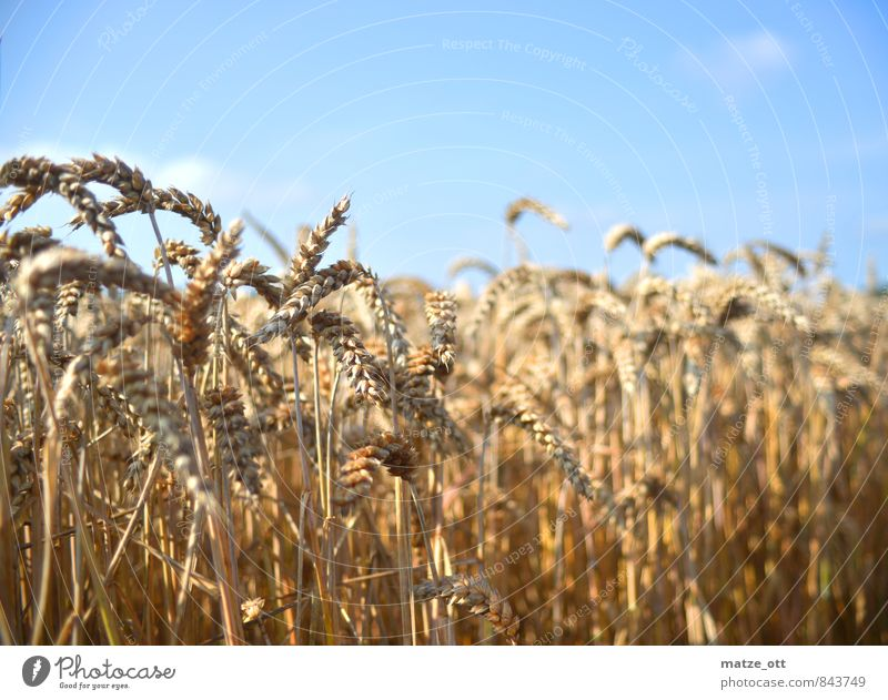 Grain field in summer Agriculture Forestry Nature Landscape Sunlight Summer Beautiful weather Plant Agricultural crop Field Cornfield Rye Spring fever