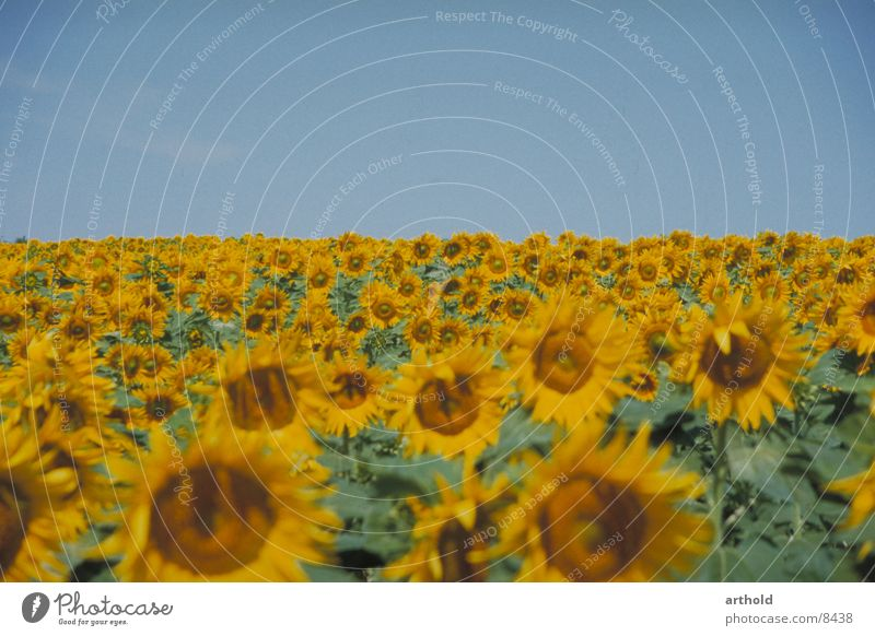 Sunny to the horizon 2 Sunflower Sunflower field Flower field Plant Crops Oleiferous fruit Blossom Blossoming