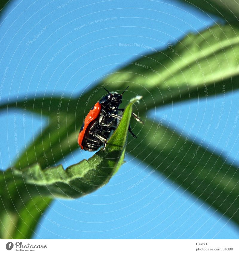 unknown flying object Beetle Green Fresh Leaf green Ladybird Spotted Blur Insect Sky blue Profile Side UFO Feeler Summer Spring fever Summery Multicoloured